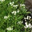 タネツケバナ(アブラナ科・タネツケバナ属)越年草