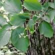 裏山にエゾアジサイ咲く