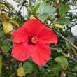 ハイビスカスが咲き始めました