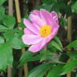 芍薬 Paeonia lactiflora 恥じらい はにかみ 謙遜