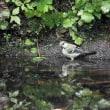 昨日の鳥 水辺の鳥クロツグミ キビタキ クロジ シジュウカラ ヒガラ ヤマガラ エゾムシクイ 若から幼鳥。
