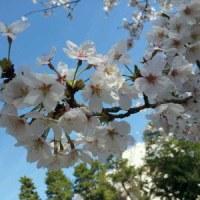 桜が綺麗だね