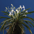 富貴蘭「紀州伏虎」の花