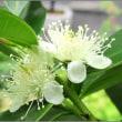 グアバの白い花