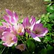 うす紫色の花・もしかしてイヌサフランでは