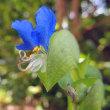 露草(ツユクサ)の花