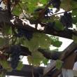 葡萄が今年もできました。
