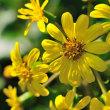 Vol.2028  ツワブキの黄色の花が見頃になってきましたね。( Photo No.14094)