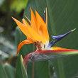 10/20 「素馨 極楽鳥花」 花・鳥・風月の写真です