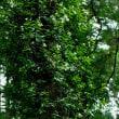 テイカカズラ 松島丘陵の杉林