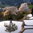 儀明の桜満開