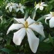 季節の花「梔子 (くちなし)」
