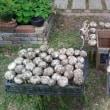 ニンニク収穫(2)乾燥保存の手順