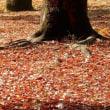ハト歩く紅葉風景
