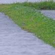 クサシギ(チドリ目シギ科)