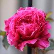 ☆咲いていたピンクの庭バラ&アクシデント。。