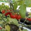 ベランダのゴーヤ、ミニトマト