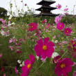 奈良法起寺のコスモス 2071.10.18