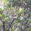 田舎生活 ウコギの木