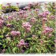 秋の野に咲きたる七種(ななくさ)の花(^^♪小さい藤色の袴のようで桜餅のような香りがする花がいっぱい「藤袴(ふじばかま)」