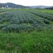 直売所の枝豆畑で除草作業をしました