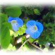 春を感じる花(^^♪「オオイヌノフグリ」は、花がたくさん咲いていると星空をながめている気分になることから別名「星の瞳」