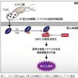 胃がんの多い日本人 原因はピロリ菌が作るタンパク質