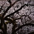 京都御所の桜花