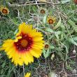 テンニン菊