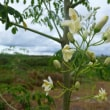 モロタイ島でモリンガを植林