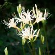 2017 文殊菩薩のお寺に白いヒガンバナが咲く  (築上郡築上町伝法寺正光寺)