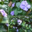 テリハノバンマツリの花は