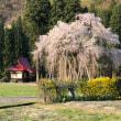 2018年「おしら様の枝垂れ桜」