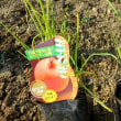 玉ねぎの苗を植えました。