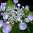 紫陽花は良いね~