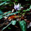 内子町の小田深山渓谷でカタクリの花が咲いています (その2)
