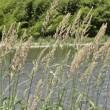 川岸にクサヨシの穂がたくさん
