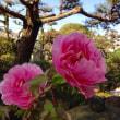 庭の牡丹が咲きました。