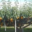 梨園と黄金の稲穂訪れる