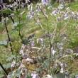 八ヶ岳の花たち