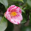 庭に咲いた椿
