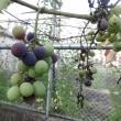 """我が家のブドウは""""粒(つぶ)"""" で収穫!"""