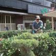 ●9/19 環境の緑化と美化報告 ヒマワリ撤去と剪定作業