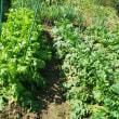 おじんでいのぉ畑 サツマイモの、、お地蔵さん