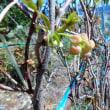 桜の開花宣言と桃の開花は?