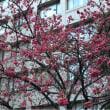 なんか違う桜。