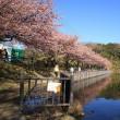 河津桜・三浦海岸