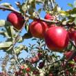 リンゴ狩り始まりました。秋の信州周遊の旅 お待ちしております。