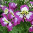 シザンサスの花は
