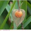 ホオズキ 〈酸漿〉 の赤い実